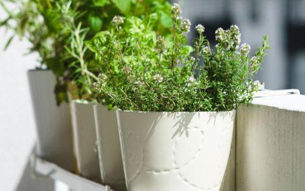 Zioła na balkon. Jakie zioła można uprawiać na balkonie